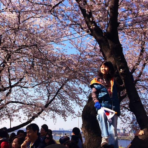 cherry blossoms springtime korea