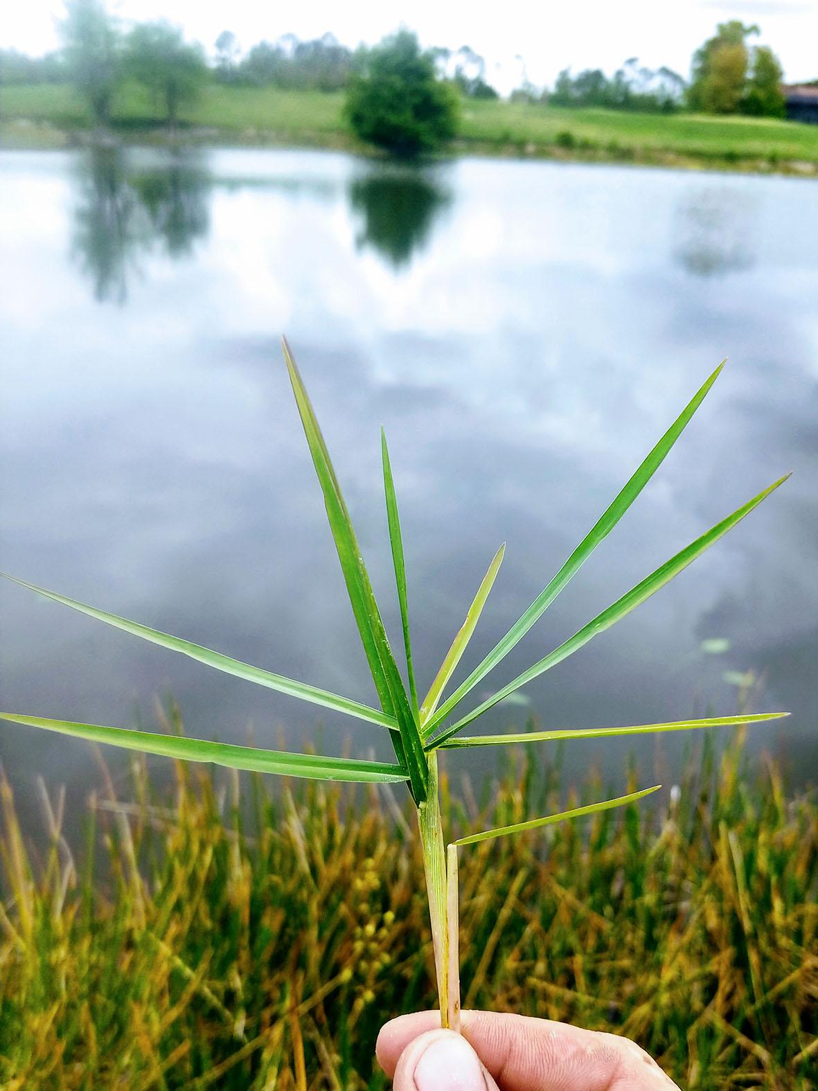 04_torpedograss