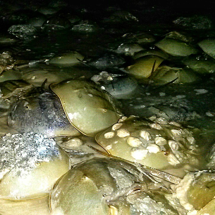 Horseshoe Crab Monitoring_TheSOLution
