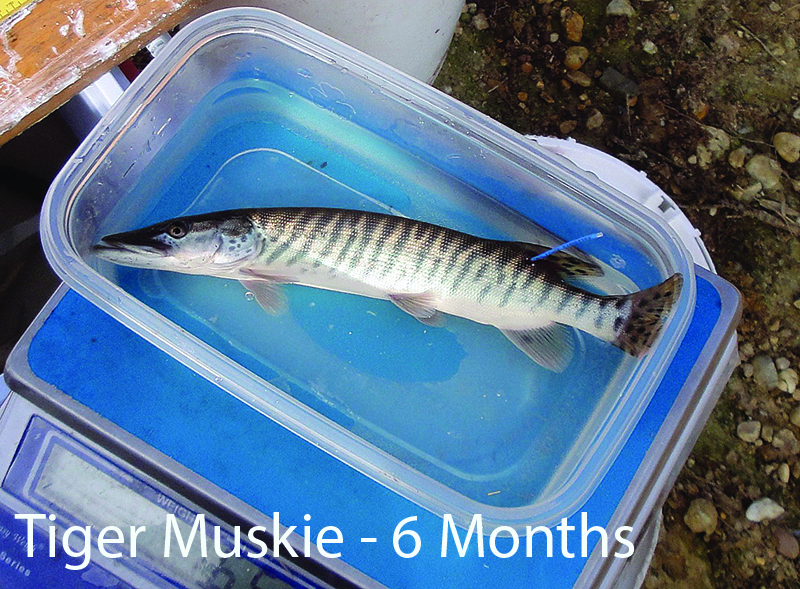 6_1_Tiger_Muskie_6months._captions_c2