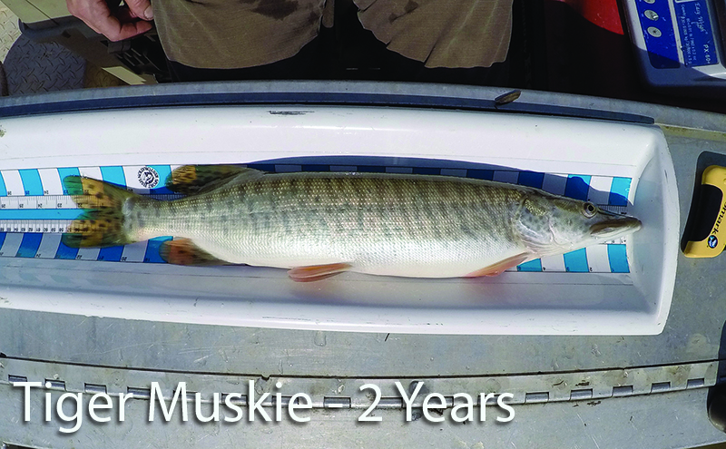 6_2c_Tiger_Muskie_2_years_18_month_growth_b_caption_c2