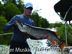 6_3_full_grown_tiger_muskie_caption_e