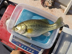 Laremouth Bass