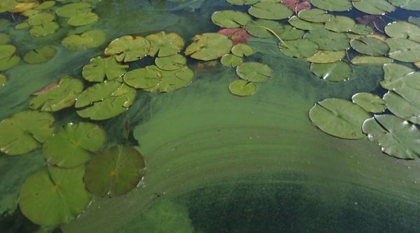 Algae Triangle