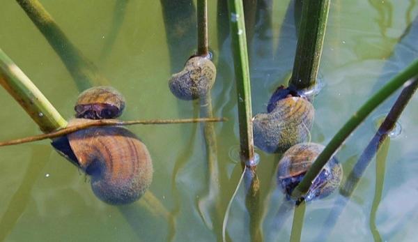 Apple Snails (Pomacea maculata)