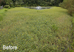 Assisted_Living_Pond_Silver_Spring_MD_0.75_acres_BEFORE_hydrilla_algae_duckweed_treatments-1