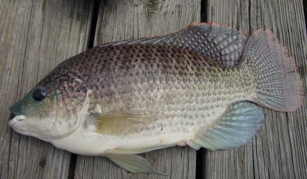 Blue Tilapia (Oreochromis aureus)-1