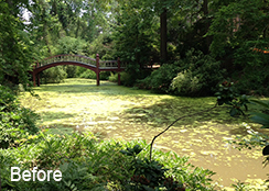 Campus_Pond_Williamsburg_VA_0.60_acres_BEFORE_duckweed_watermeal_treatments_1