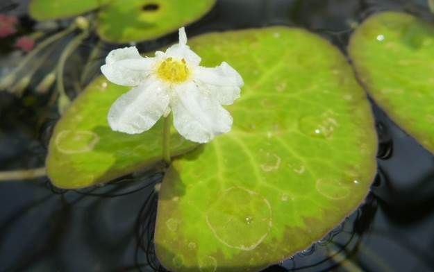 Crested_Floating_Heart_Nymphoides_cristata_-_Non-native