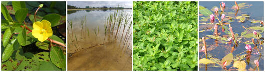 Emergent Plants upland wetland and aquatic invasive species control lake management