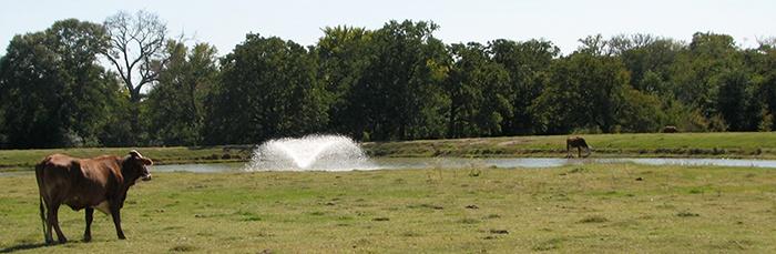 Fountain-cows-pond-ranch.jpg