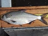 Coppernose Bluegill1