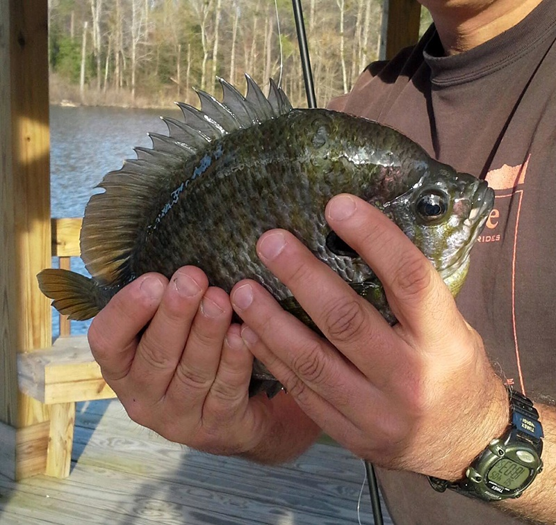 Marc_Daymude_Private_Landowner_Cameron_NC_two-hand_bluegill_10.15_cropped_c