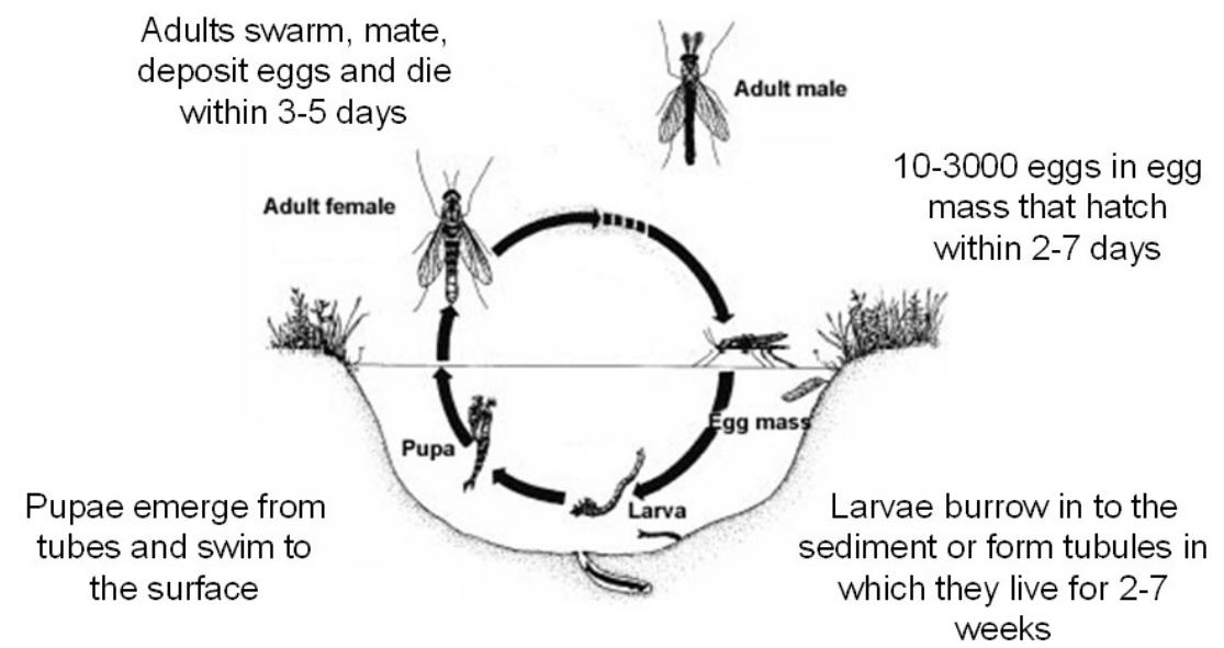Midge fly lifecycle - SOLitude
