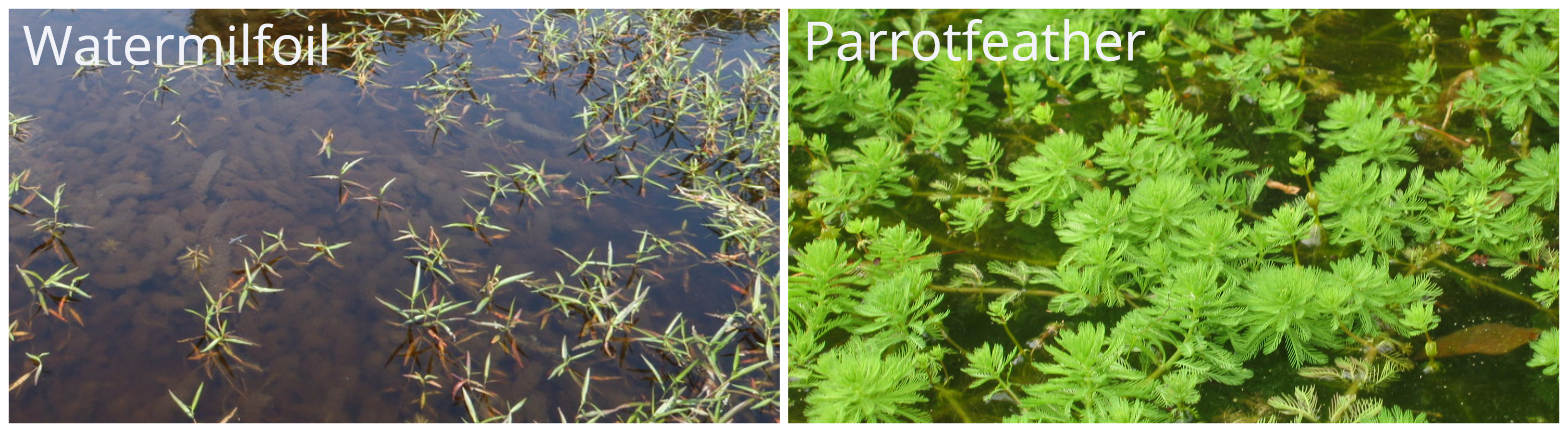 Parrotfeather watermilfoil