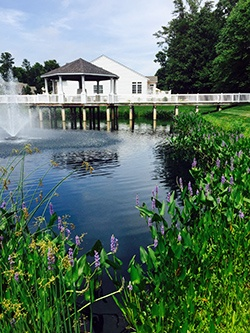 Pickerelweed_shoreline_buffer_Long_Neck_Shores_Pond_3_Millsboro_DE_Jason_L_06.15_e.jpg