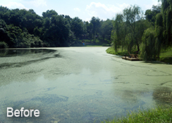 Private_Pond_Purcellville_VA_1.50_acres_BEFORE_watermeal_algae_brittle_naiad_treatments_1-1