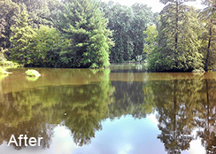 Private_Pond_Purcellville_VA_4.65_acres_AFTER_hydrilla_and_watermeal_treatments