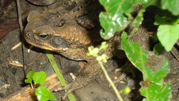 Rhinella_marina bufo cane toad
