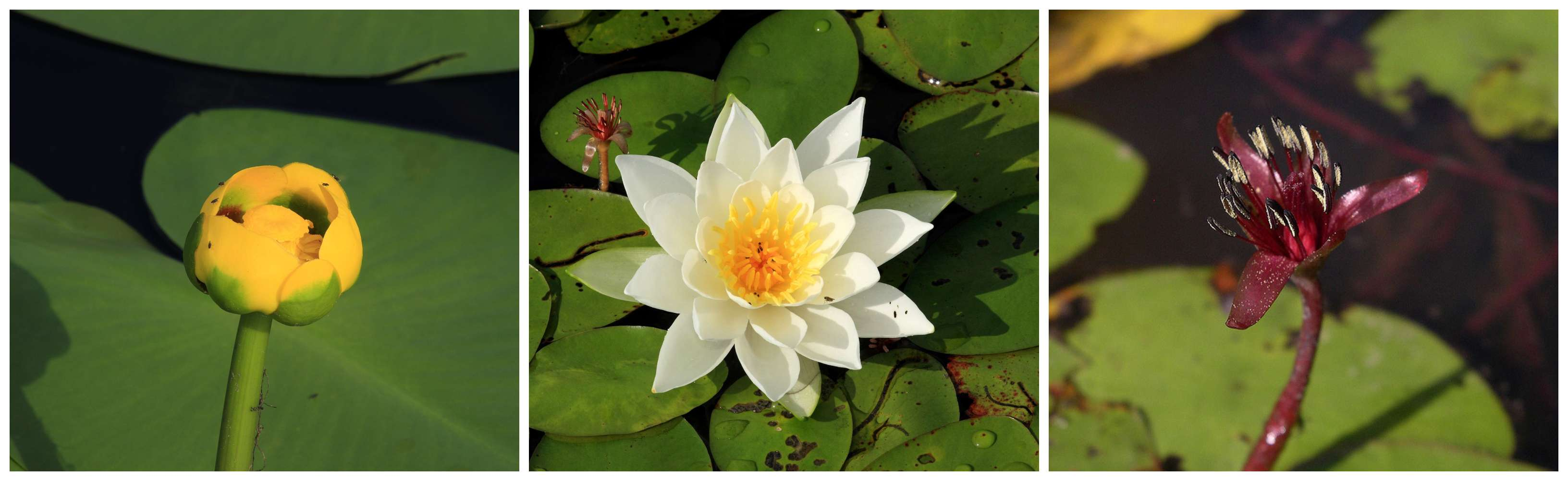 Yellow waterlily_white waterlily_watershield