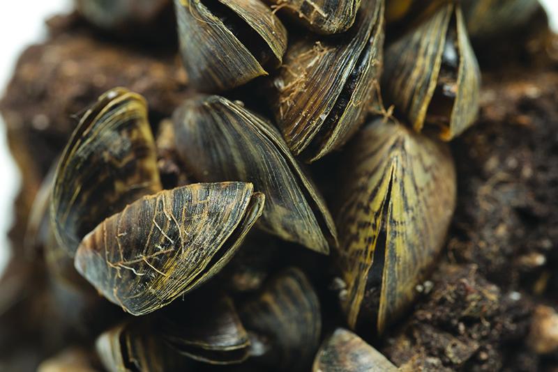 Zebra Mussels_c.jpg