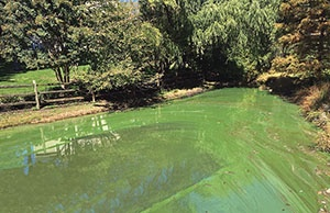Harmful of Effects of Nutrient Loading in Ponds