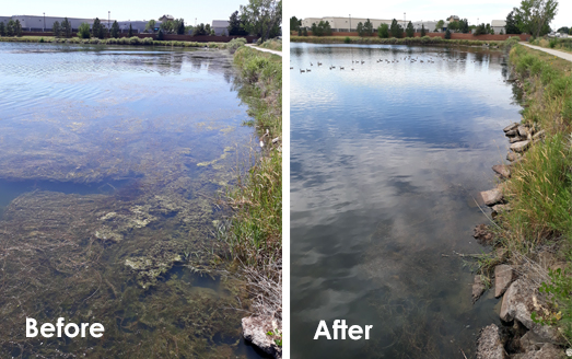 before and after milfoil treatment