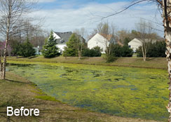 Pond Covered In Filamentous Algae Blooms