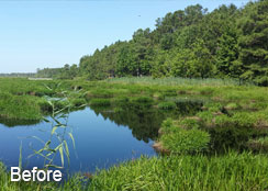 Maidencane Infestation In City Lake