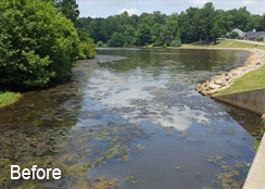 Filamentous Algae Bloom In Golf Irrigation Pond