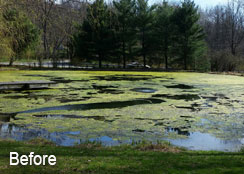 Filamentous Algae Mats Covering the Pond's Surface