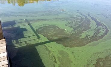 cyanobacteria-blue-green-algae.jpg