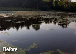 Filamentous Algae Growth in Pond