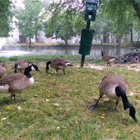 geese-control