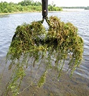 hydrilla invasive species