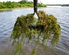 invasive-aquatic-plant_hydrilla-1.jpg