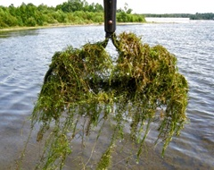 invasive aquatic plant hydrilla