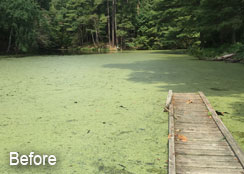Duckweed Covering Pond