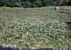 Stormwater Pond Infested with White Water-Lily