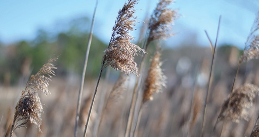 phragmites-australis-invasive-wetland-species