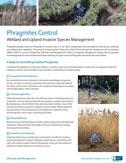 phragmites control