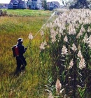 phragmites invasive species