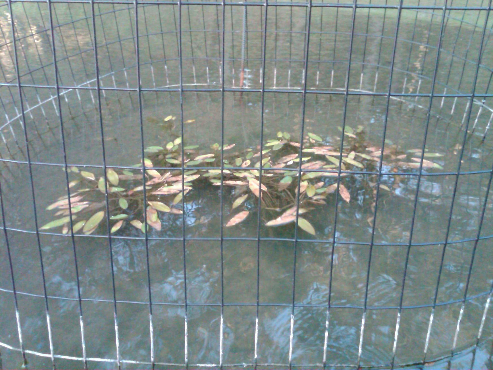 pondweed8-15-09