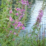 purple-loosestrife.jpg