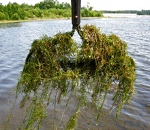 what is hydrilla
