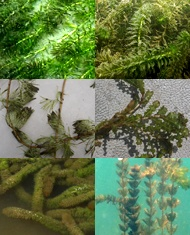 submerged plants