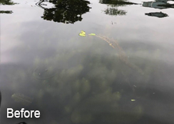 watermilfoil-before-case-study