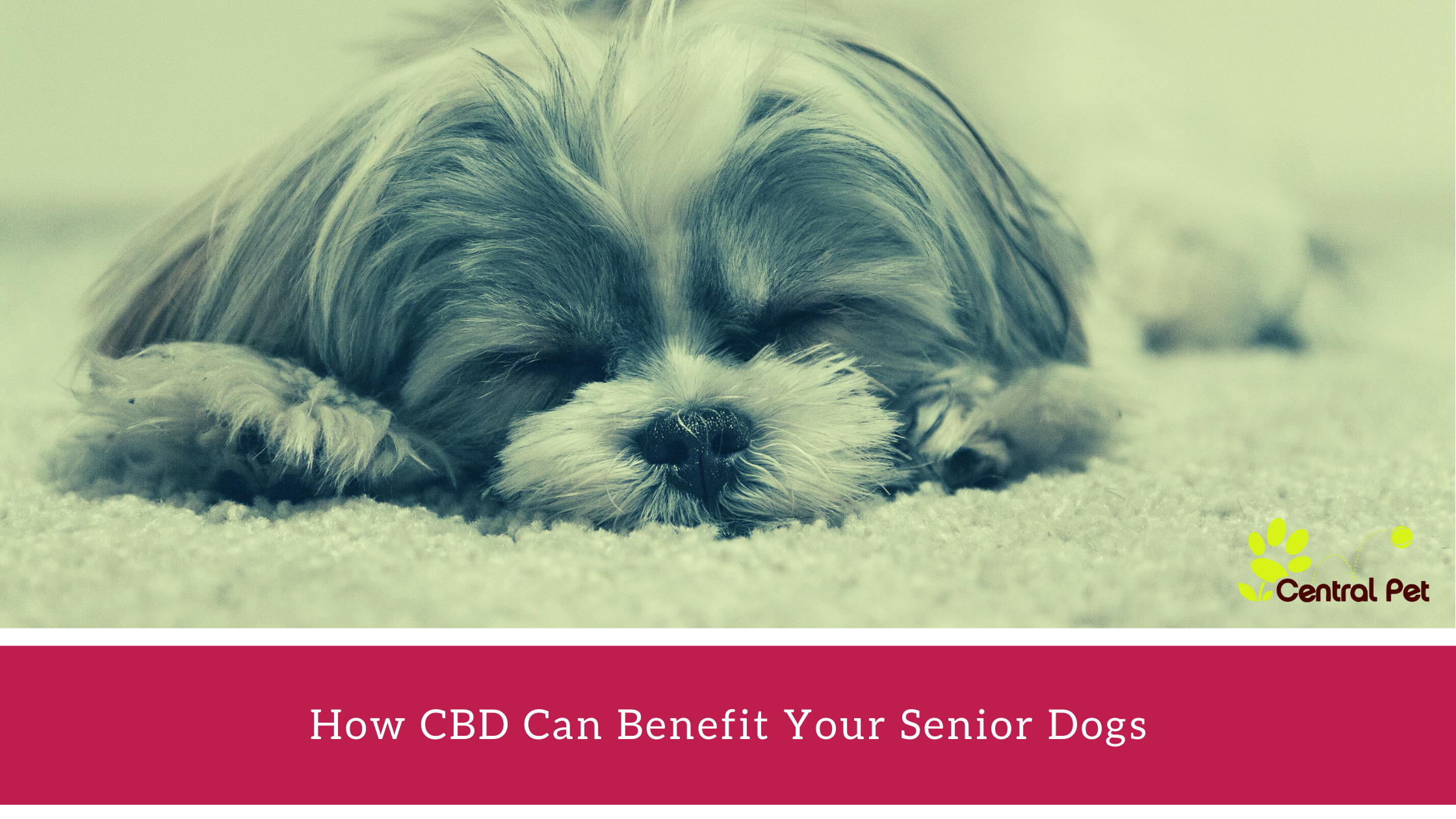 The Benefits of CBD for Senior Dogs