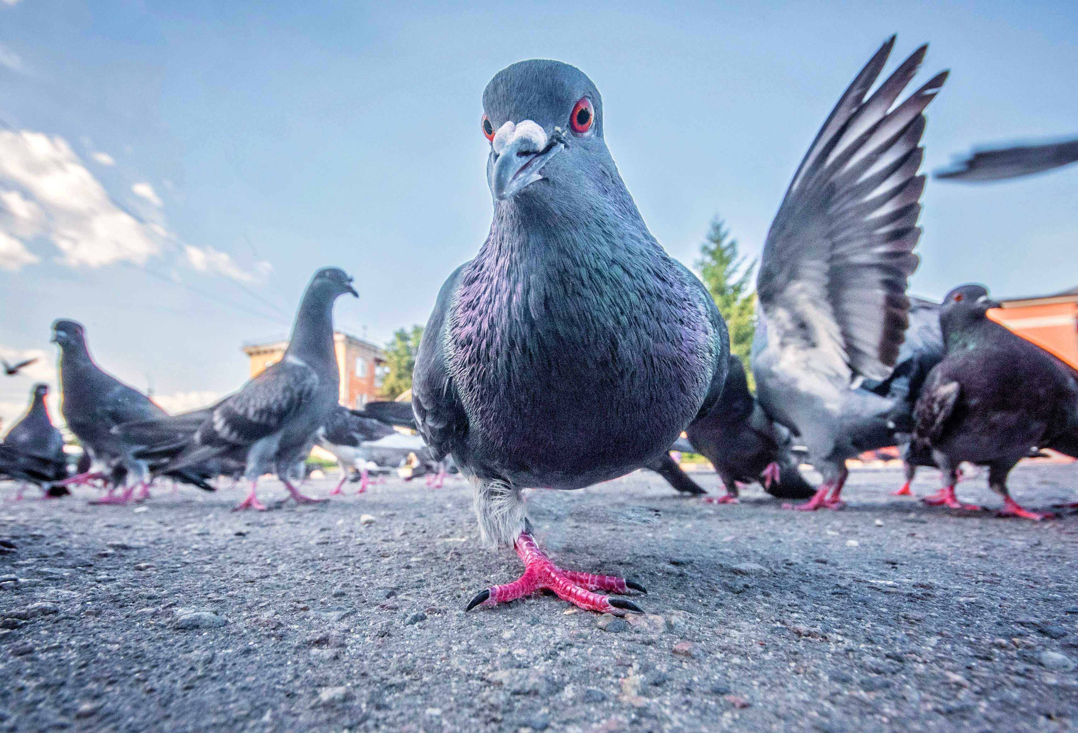 one-legged pigeon